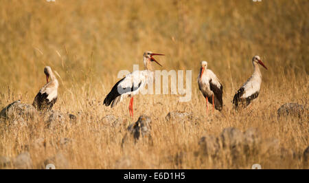 White Stork (Ciconia ciconia) foraging for food in a field. White storks are very large wading birds that feed on - Stock Photo