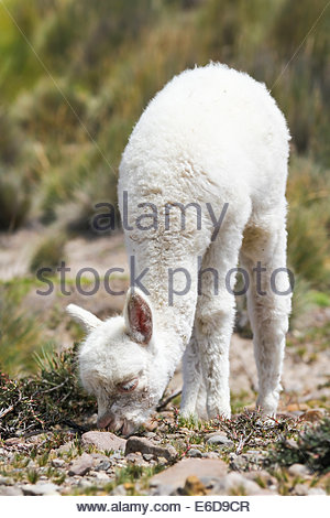 South America, Peru, Llama baby eating, Lama glama - Stock Photo