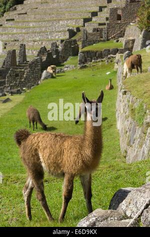 Llama (Lama glama) in the ruins of Machu Picchu, Aguas Calientes, Peru - Stock Photo
