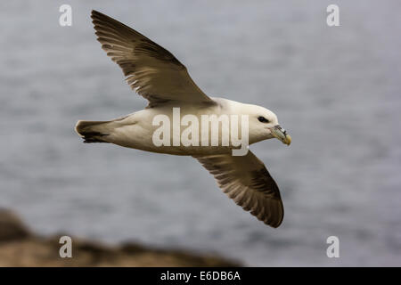 Northern Fulmar Fulmarus glacialis, adult in flight, with a visible tube nose, St Martin's, Isles of Scilly - Stock Photo