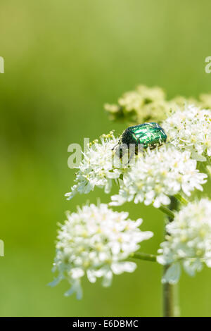Rose Chafer Cetonia aurata, feeding on the flowers of a hog weed plant on the island of St. Mary's, Isles of Scilly, - Stock Photo
