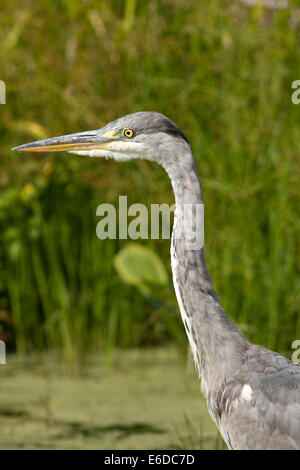 Juvenile Grey Heron fishing in London in Summer - Stock Photo