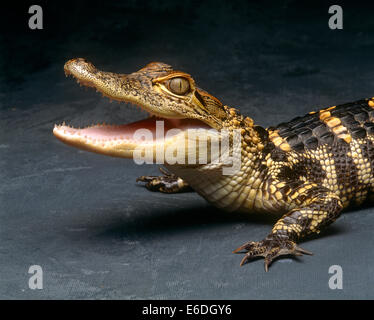 Crocodile with its mouth open looking into the camera - Stock Photo