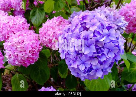 Mophead Hydrangea (H. macrophylla) - Stock Photo