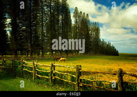 Horse in pasture with fence and Cook pines.Lanai, Hawaii - Stock Photo