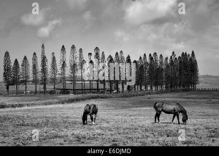 Horses grazing in pasture with barn, stables at Koele, and  Cook Pines. Lanai, Hawaii. - Stock Photo