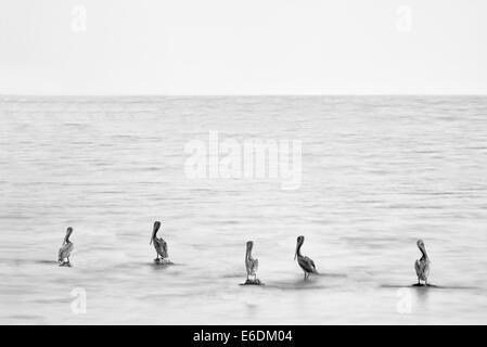 Pelicans standing on rocks. Salton Sea State Recreation Area. California - Stock Photo