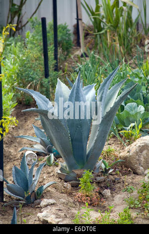 Blue Agave Plant. Stanford Avalon Gardens in Watts, Los Angeles, California, USA. - Stock Photo
