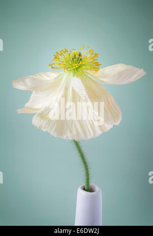 Single white Poppy on pale green background - Stock Photo