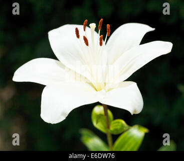 white fresh flower of Lilium candidum (Madonna Lily) close up - Stock Photo