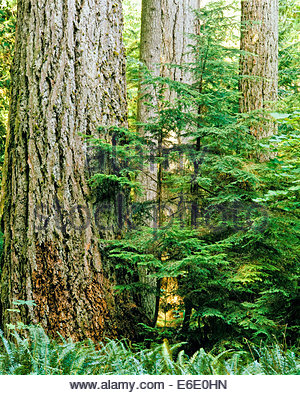 Temperate rainforest in Cathedral Grove in MacMillan Provincial Park in British Columbia Canada - Stock Photo
