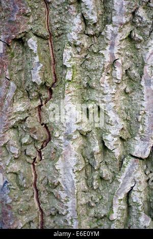 white walnut, butternut (Juglans cinerea), lichens on the