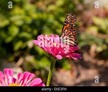 Female Monarch butterfly (Danaus plexippus) sitting on pink daisy flower - USA - Stock Photo