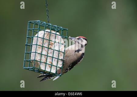 Great Spotted Woodpecker, bird's feeding, Buntspecht, Vogelfütterung, Vogelfutter, Dendrocopos major, Vogelfutter, - Stock Photo