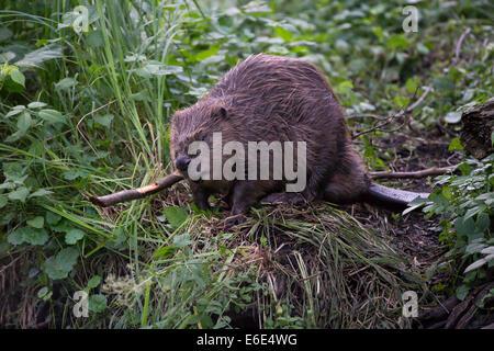Eurasian beaver, European beaver, Beaver, Europäischer Biber, Altwelt-Biber, Biber, Castor fiber, Castor d´Europe - Stock Photo