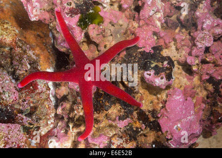 Atlantic Blood Star, Slender sea star, Bloody Henry, Blood starfish, star-fish, Blutstern, Blut-Seestern, Henricia - Stock Photo