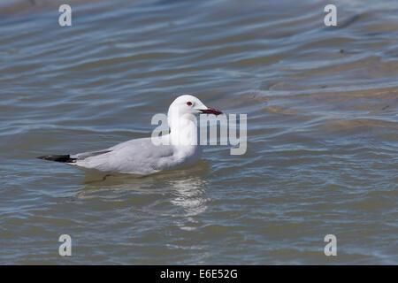 Slender-billed Gull, Dünnschnabelmöwe, Dünnschnabel-Möwe, Dünnschnabel-Möve, Möwe, Möwen, Chroicocephalus genei, - Stock Photo