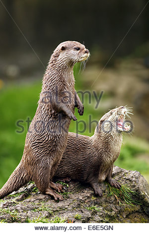 A pair of Asian short clawed Otters on a log. - Stock Photo