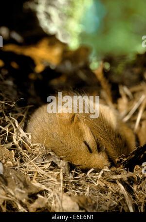 Hazel Dormouse - Muscardinus avellanarius - Stock Photo