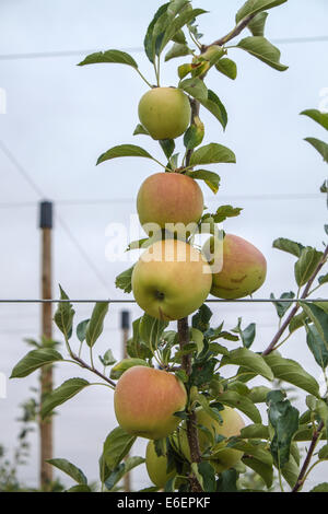 Apples and fruits in Spain don't harvest by Russian Boycott to EU - Stock Photo