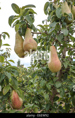Pear and fruits in Spain don't harvest by Russian Boycott to EU - Stock Photo