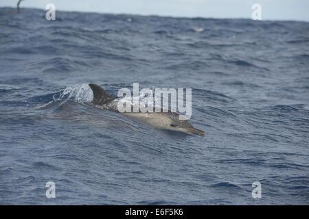 Short-beaked Common Dolphin, Delphinus delphis, porpoising in big waves, near Pico, Azores, Atlantic Ocean. - Stock Photo