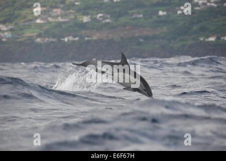 Short-beaked Common Dolphin, Delphinus delphis, porpoising at great speed in big waves, near Pico, Azores, Atlantic - Stock Photo