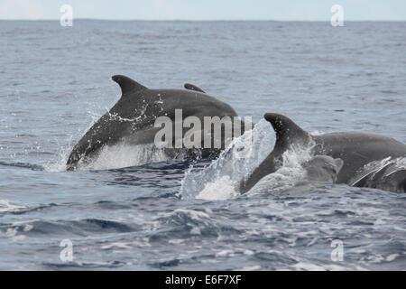 Bottlenose Dolphin group, Tursiops truncatus, surfacing, near Lajes Do Pico, Azores, Atlantic Ocean. - Stock Photo