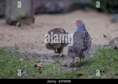 Rebhuhn Perdix perdix  English partridge Hungarian - Stock Photo