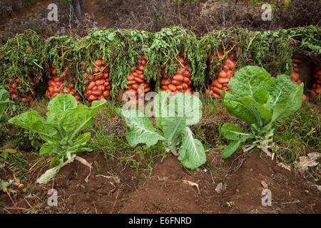 Sacks of potatoes next to a field with Tronchuda cabbage in a remote part of Madeira. - Stock Photo