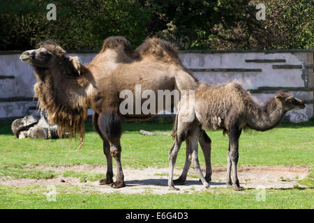 Two-humped camel in a paddock Camelus Dromedary - Stock Photo