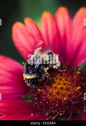 Bumblebee covered in pollen on Gaillardia Arizona Red Shades - Stock Photo