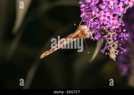 A close up of a Small tortoiseshell Butterfly, Aglais urticae, feeding on a Buddleia flower. - Stock Photo
