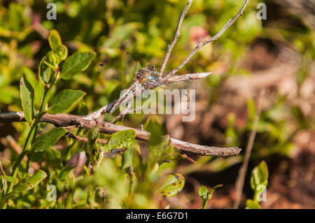 A female Black Darter Dragonfly, Sympetrum danae, basking in the sunshine. - Stock Photo