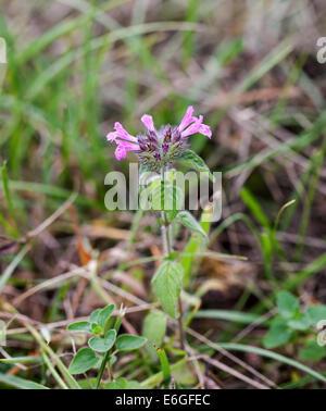Wild flower Wild Basil in Sussex - Stock Photo