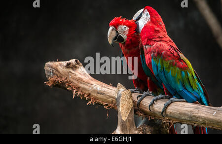 Two red macaws are grooming on a branch. - Stock Photo
