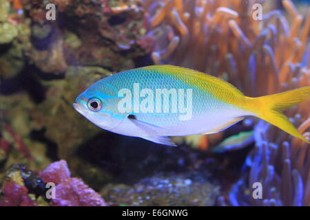 Yellow and blueback fusilier or Redfin fusilier (Caesio teres) in Japan - Stock Photo