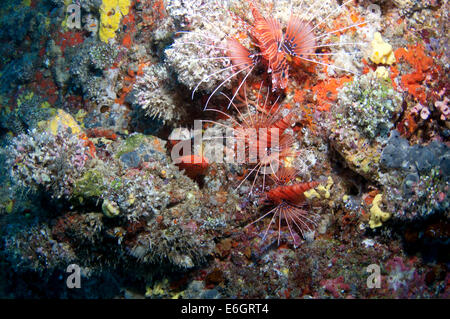 Group of lionfish, north Male' atoll in Maldives - Stock Photo