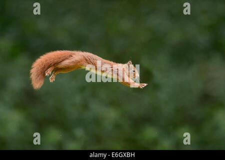 Red squirrel jumping - Stock Photo