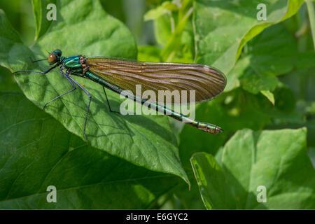 The Beautiful Demoiselle (Calopteryx virgo) female European damselfly Slapton Ley NNR Devon UK Europe August. - Stock Photo