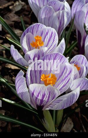 Pickwick Crocus blossoms - Stock Photo