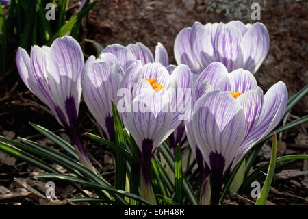 A cluster of Pickwick Crocus - Stock Photo