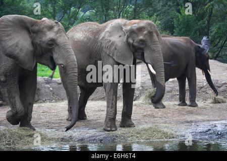 African elephants at the Pittsburgh Zoo, Pittsburgh, PA. - Stock Photo