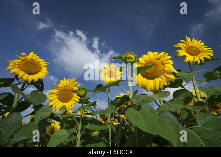 happy sunflowers growing in the field - Stock Photo