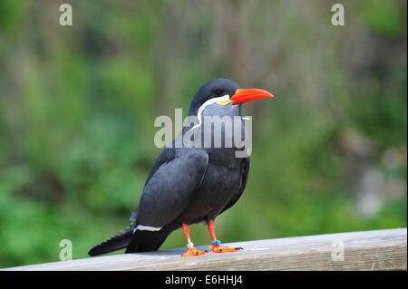 inca tern - Stock Photo