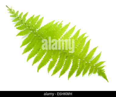 Green fern leaf. Isolated on white background - Stock Photo