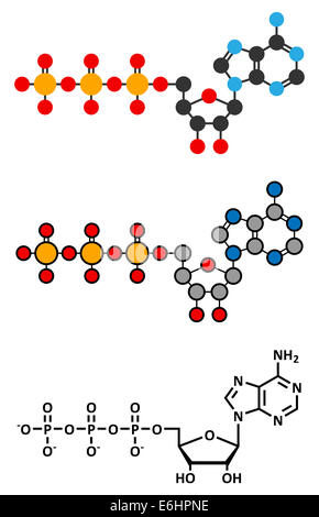 Adenosine triphosphate (ATP) molecule. Functions as neurotransmitter, RNA building block, energy transfer molecule, - Stock Photo