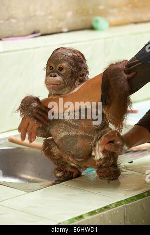 Orphaned infant orangutan (Pongo pygmaeus) clinging to caretaker's arm while having a bath at the Orangutan Care - Stock Photo