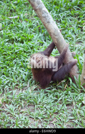 Baby Hoffmann's Two-toed Sloth (Choloepus hoffmanni) orphan climbing up jungle gym tree at the Sloth Sanctuary of Costa Rica