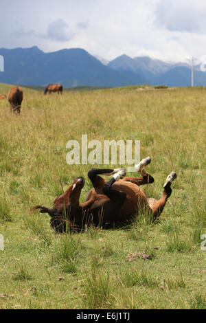 (140825) -- ZHANGYE, Aug. 25, 2014 (Xinhua) -- A horse frolics at the Shandan Horse Ranch in Zhangye City, northwest - Stock Photo